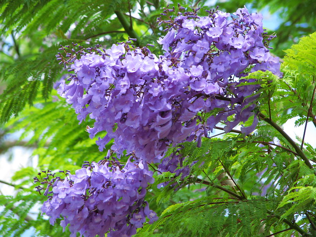Purpleblue flowering trees a gallery on flickr jacaranda mimosifolia mightylinksfo