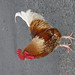 Small photo of Rooster in a Car Park