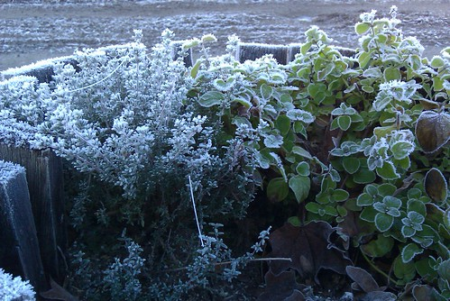 Frosty thyme and mint