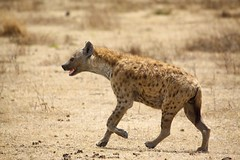 jackal(0.0), lycaon pictus(0.0), animal(1.0), mammal(1.0), hyena(1.0), fauna(1.0), wildlife(1.0),