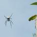 Spotted Spider - Mt. Batur, Bali