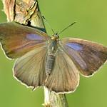 Neozephyrus quercus female