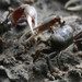 Fiddler Crabs - Photo (c) Michael Rosenberg, some rights reserved (CC BY-NC)