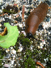 snail(0.0), animal(1.0), leaf(1.0), nature(1.0), marine biology(1.0), invertebrate(1.0), fauna(1.0), slug(1.0), snails and slugs(1.0), wildlife(1.0),