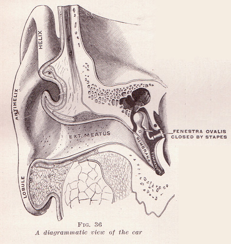 Diagrammatic View of the Ear