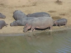 Wild Hippos along the Bushmans River