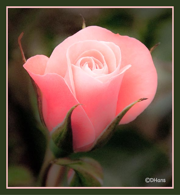 Rosa amarilla.--►DS Set.2016 3923513519_708e585bf8_z