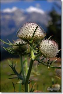 16.09.2009 - Cirsium eriophorum - Wollköpfige Kratzdistel