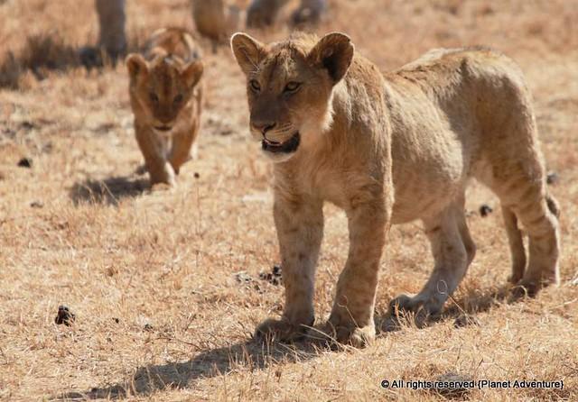 Babies - NGorongoro Crater - Tanzania