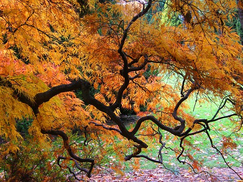 Japanese Maple in Orange Autumn