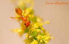 هذه النمله تعيش في قطر