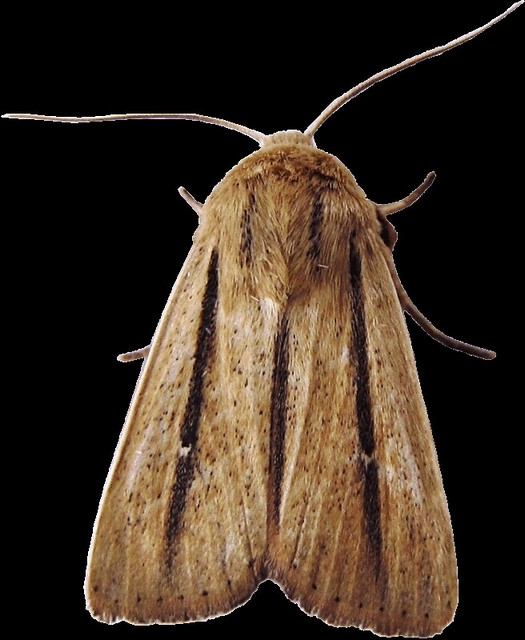 brown moth clipart, lge 13 cm | Flickr - Photo Sharing!