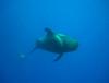 pilot whale 1