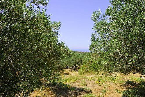 Achladia - Olivenhain