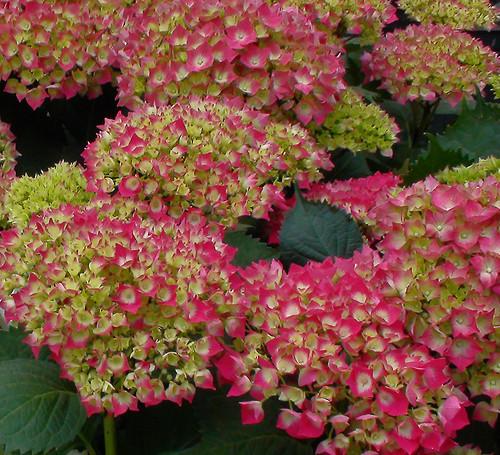 La poda de las hortensias o hydrangeas macrophylla a - Hortensias cuidados poda ...