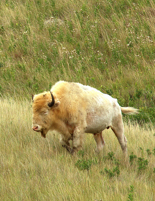 Rare white buffalo sacred to native americans a for Die hard tattoo albany oregon