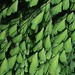 Adiantum andicola por Polylepis
