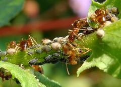 Ants and aphids on weed in our flower garden
