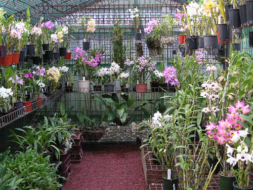 Nobile/Softcane Dendrobiums in bloom 2009