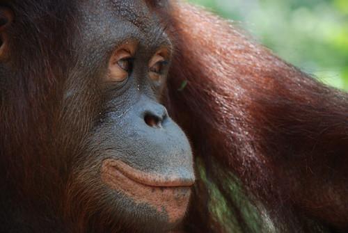 Orangutan - Sepilok Rehabilitation Centre - Borneo