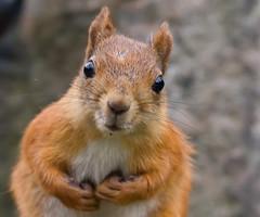 [フリー画像素材] 動物 1, 栗鼠・リス ID:201210130400