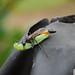 Small photo of Ammophila Sabulosa