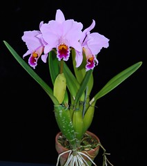Cattleya percivaliana 'Summit' FCC/AOS Plant