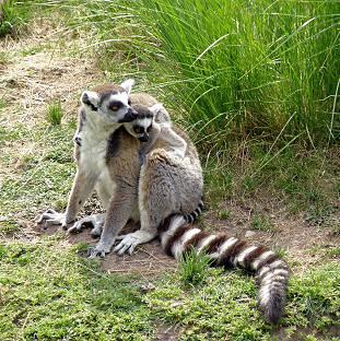 Ring-tailed Lemur (Lemur catta) LÉMUR DE COLA ANILLADA ~ Original = (2588 x 2598)