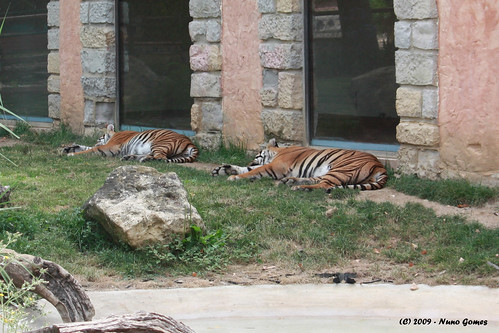 Dois Tigres a Dormir - Two Tigers Sleeping