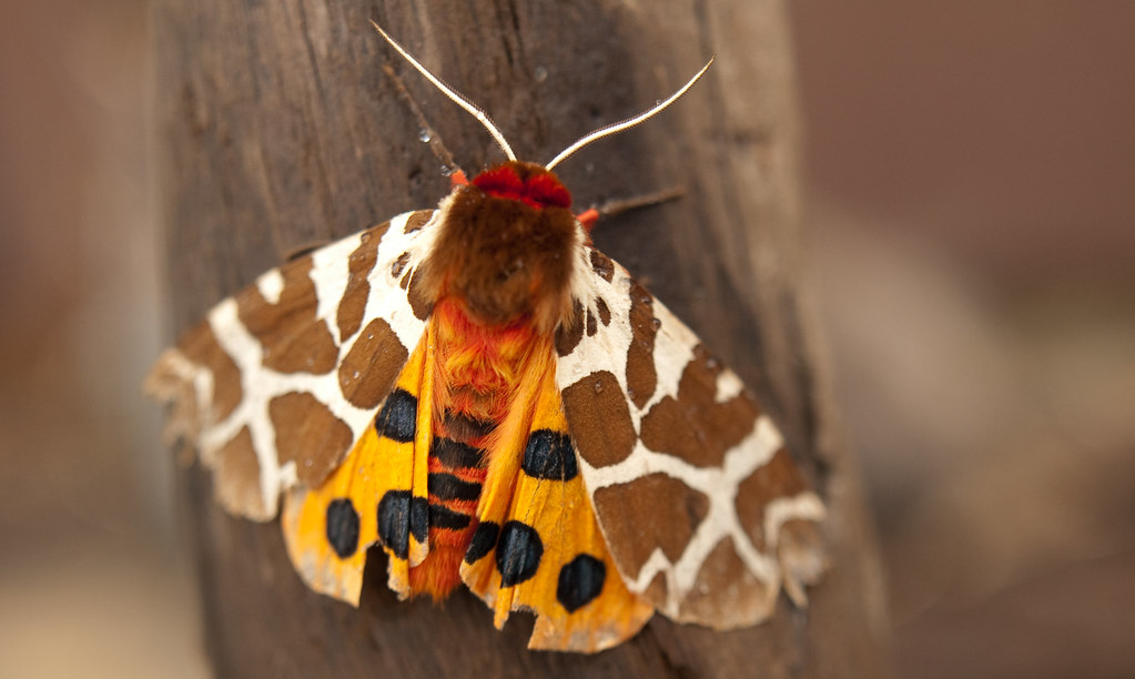 Giraffe-Cheetah-Tiger Moth?