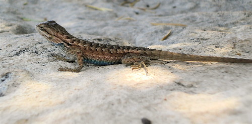 Blue-Bellied Lizard
