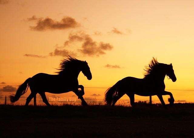 Frisian Horses @ sunset