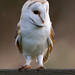 Barn Owl - MG_8453 by nigel pye