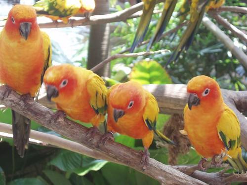 200907291034_Jurong-birdpark-sun-conures
