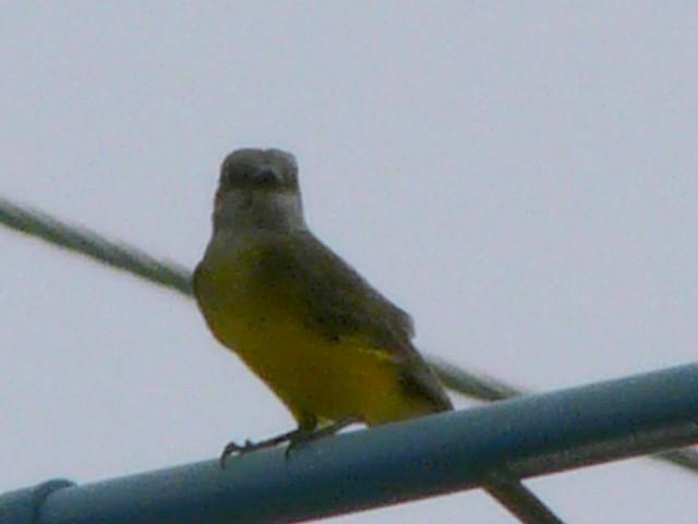 Oiseau gris et jaune dans la ville flickr photo sharing for Choupi et doudou a la piscine