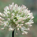 Small photo of Allium howellii