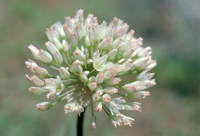 Header of Allium howellii