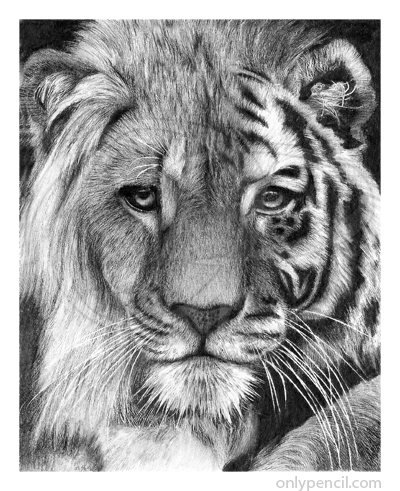 Pencil drawings of lions - photo#19