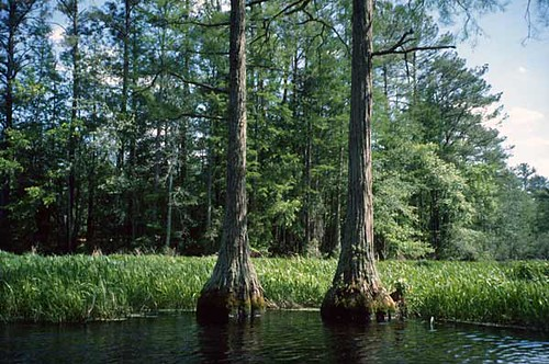 trees usa creek nc northcarolina swamp cypress baldcypress cypressswamp formycreativecommonsattributionrequirementsseemyflickrprofile