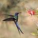 Série com Beija-flor Tesoura (Eupetomena macroura) - Series with the Swallow-tailed Hummingbird - 04-07-09 - 256 by Flávio Cruvinel Brandão