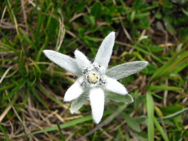 Edelweiss definition meaning for Flor definition