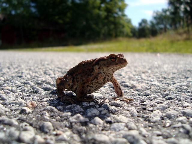 Podchody pro migrující žáby na Jihlavsku pomohou chránit ohrožené obojživelníky