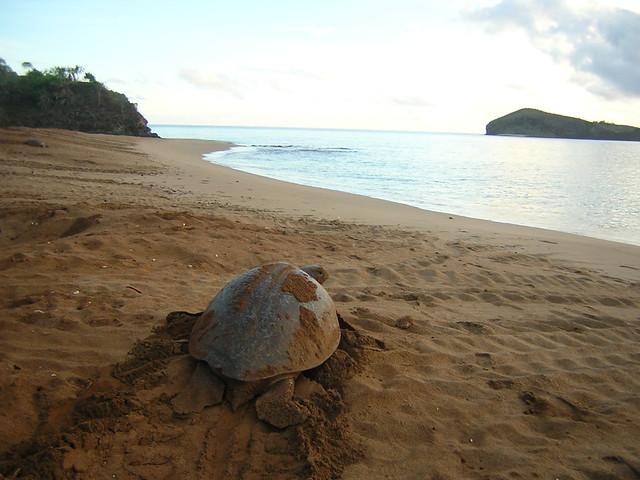 tortuga de Mohéli, Comoras