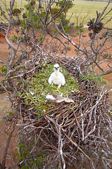 wedge tailed eagle chick australia