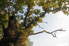 Alter Baum im Herbstgewand