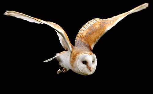 park bird 20d barn canon eos paradise flight owl hertfordshire broxbourne thewonderfulworldofbirds
