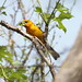 Yellow Grosbeak (Pheucticus chrysopeplus)