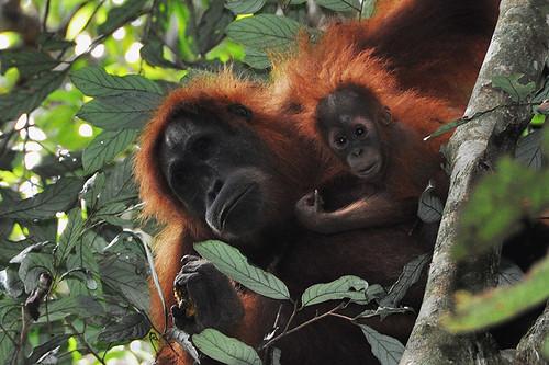 印尼的紅毛猩猩。(圖:Drriss & Marrionn)