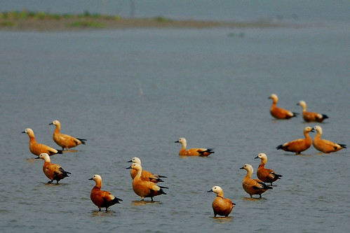 Ruddy Shelduck by C M Reza