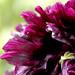 Purple Poppy From the Garden [Explored]